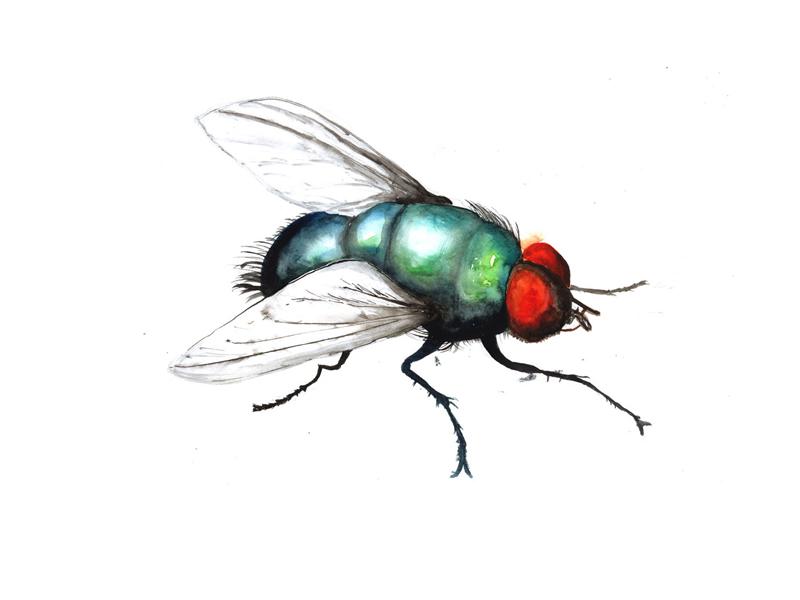 Die Fliege, Aquarell, Tusche